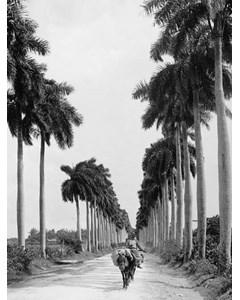Avenue Of Palmas. Havana
