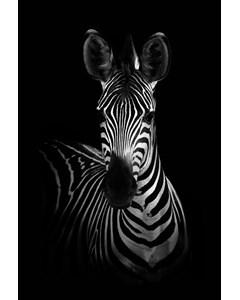 Zebra Mot Svart Bakgrund